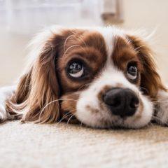 Mutuelle chien : ce que vous devez savoir